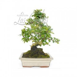 BONSAI HIRAKATA